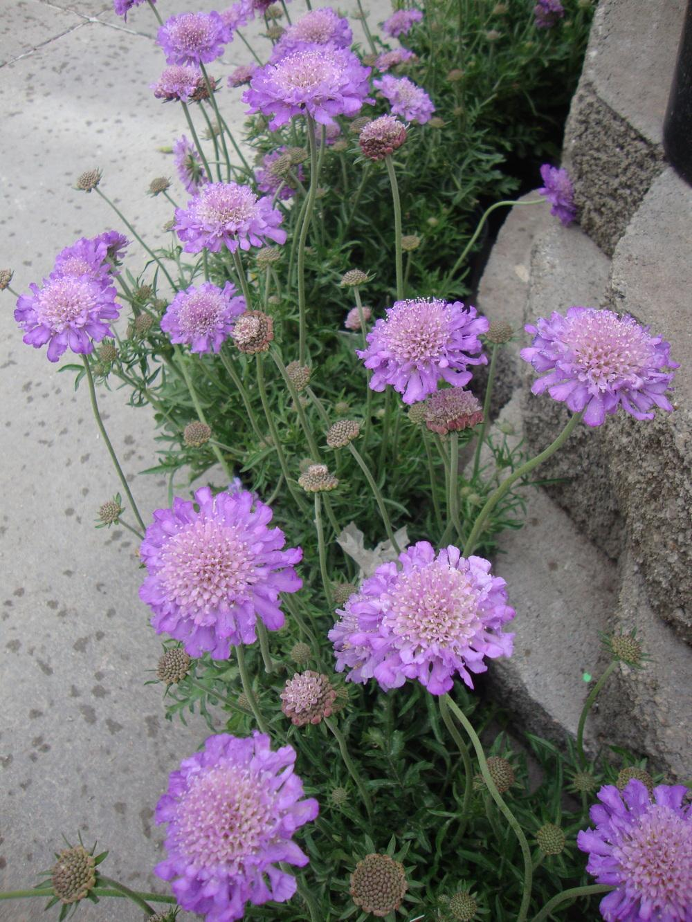 Photo Of The Entire Plant Of Pincushion Flower Scabiosa Columbaria