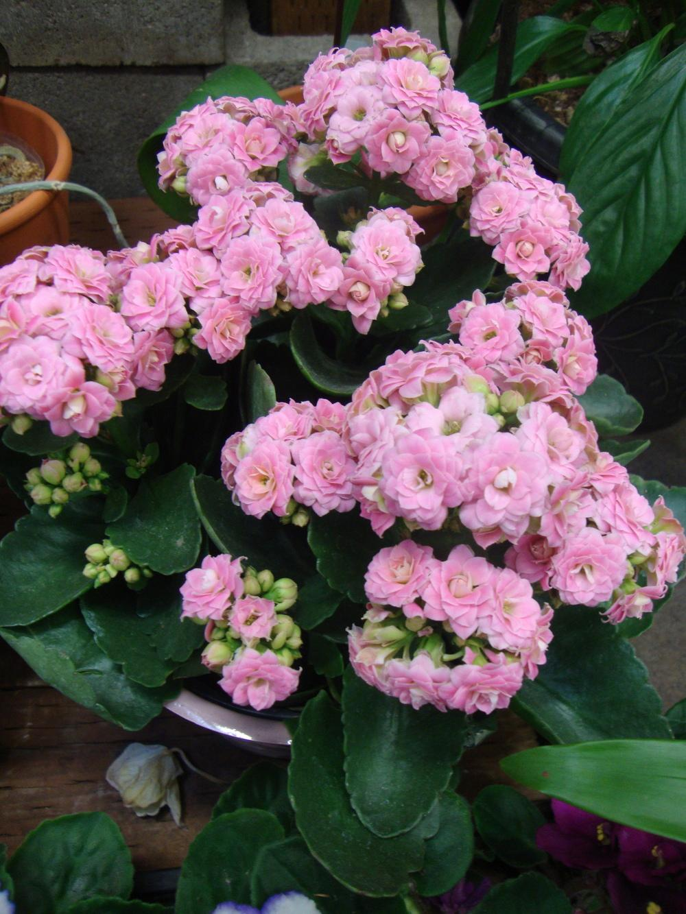 Photo of Kalanchoes (Kalanchoe) uploaded by Paul2032