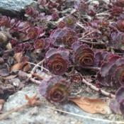 Location: Baltimore, MDDate: Early SpringSedum spurium 'Fuldaglut' early Spring color