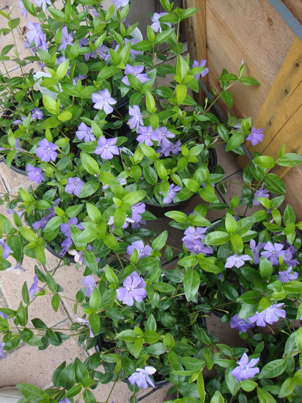 Photo of Lesser Periwinkle (Vinca minor 'Bowles's Variety') uploaded by Paul2032