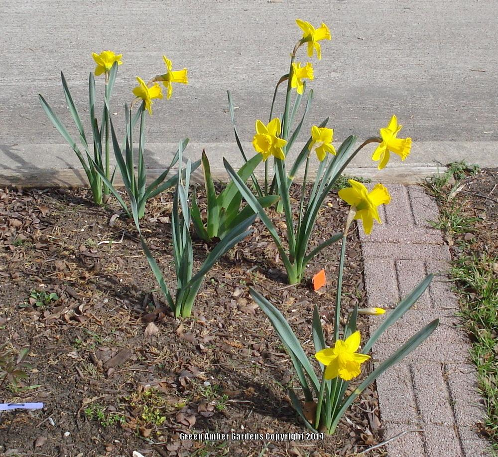 Photo of Large-Cupped Daffodil (Narcissus 'Saint Keverne') uploaded by lovemyhouse