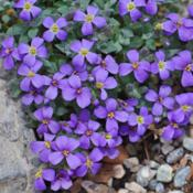 Location: My Garden, UtahDate: 2014-03-31purchased as Aubrieta canescens subsp. canescens