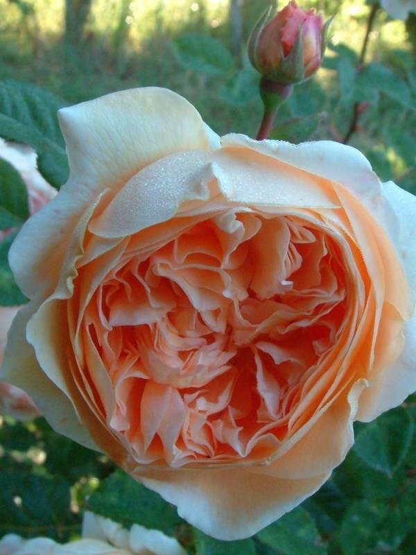 Photo of Rose (Rosa 'Crown Princess Margareta') uploaded by Calif_Sue