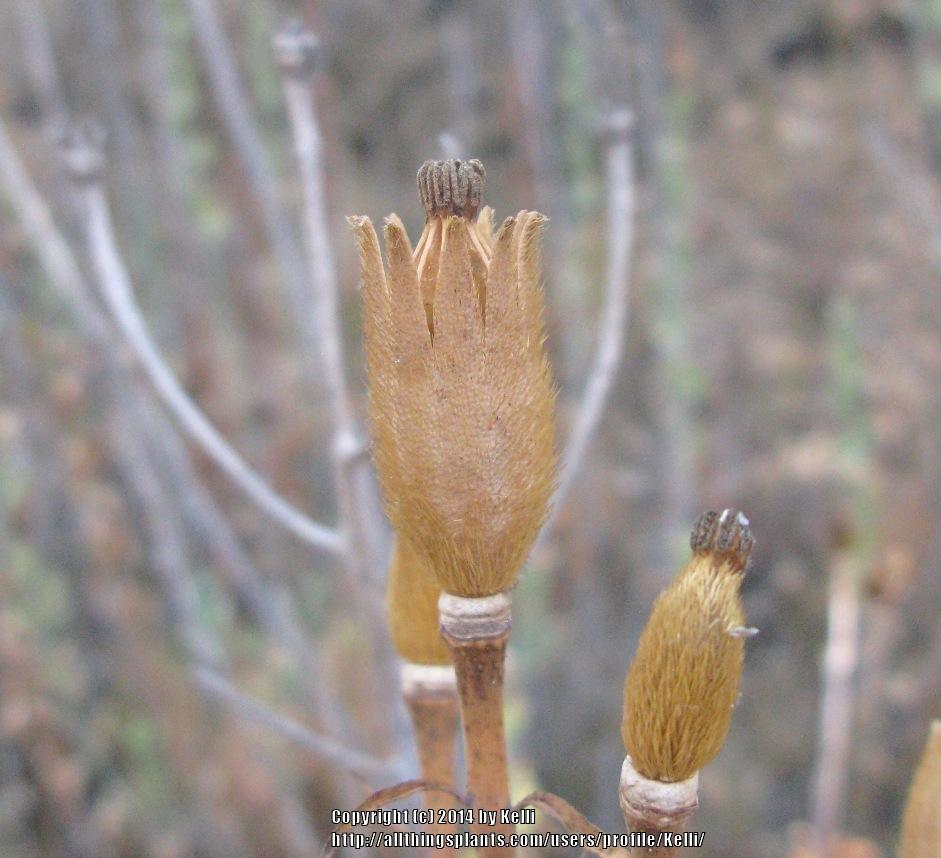 Photo Of The Seed Pods Or Heads Of Matilija Poppy Romneya