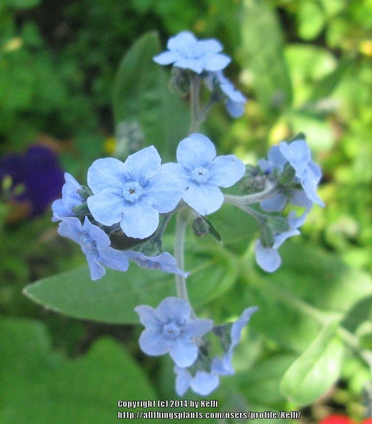 Photo of Chinese Forget-Me-Not (Cynoglossum amabile) uploaded by Kelli