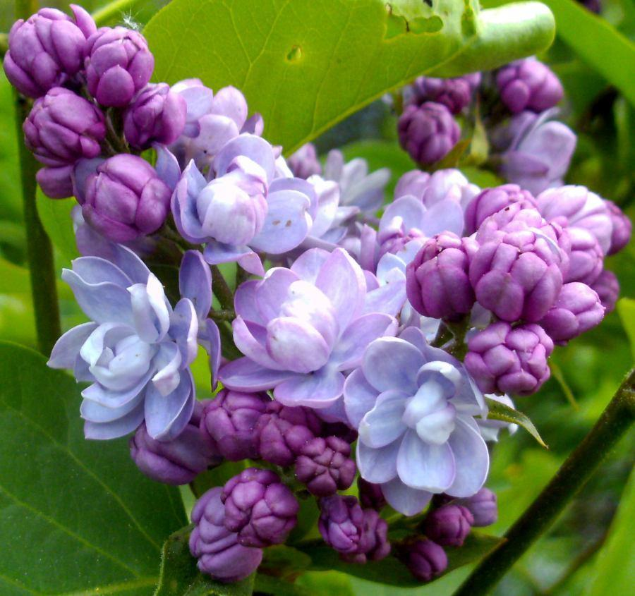 Photo of Common Lilac (Syringa vulgaris Kindy Rose®) uploaded by Heart2Heart