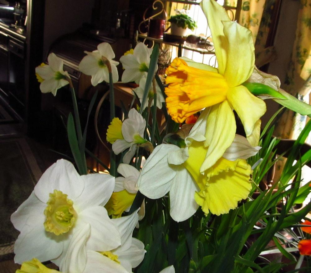 Photo of Daffodils (Narcissus) uploaded by jmorth