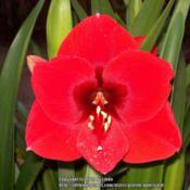 Location: Tucson, ArizonaDate: April 2014Evening shot of Amaryllis