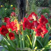 Location: Tucson, ArizonaDate: April 2014Bulbs were a Christmas gift over many years
