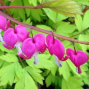 Location: Medina, TNDate: April, 2014Dicentra 'Gold Heart' is shown blooming in April. The foliage rea