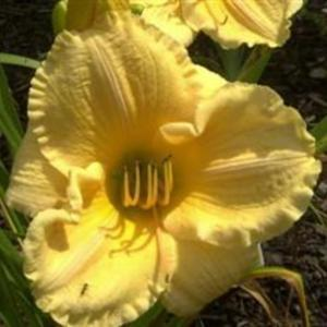 Photo Courtesy of Cheryl's Daylilies. Used with Permission.