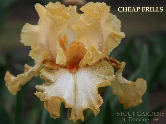 Photo of Tall Bearded Iris (Iris 'Cheap Frills') uploaded by Calif_Sue