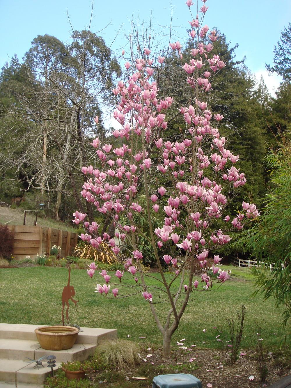 Photo Of The Entire Plant Of Magnolia Heaven Scent Posted By