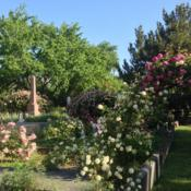 Location: Historic Rose Garden, Historic City Cemetery, Sacramento CA. Date: 2014-04-15Just a small portion of the heritage roses in the Histo