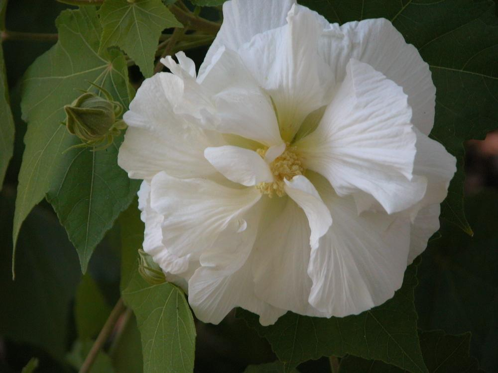 Photo of Confederate Rose (Hibiscus mutabilis) uploaded by Seedfork