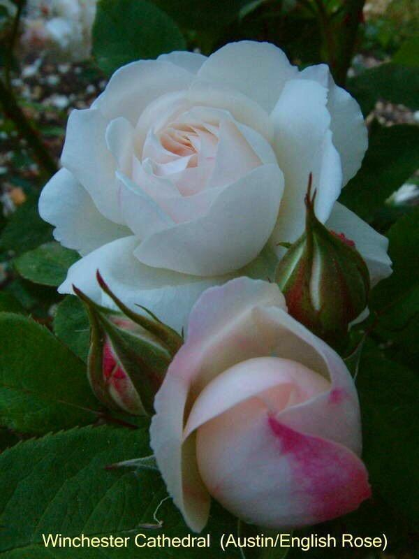 Photo of Rose (Rosa 'Winchester Cathedral') uploaded by Calif_Sue