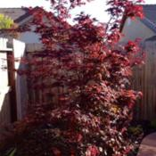 "Location: In backyard, Elk Grove, CADate: 2014-4-16Japanese Maple ""Bloodgood"""