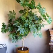 Location: In front yard porch.  Elk Grove, CADate: 2014-4-16This was a 1gallon plant 10 years ago.  Getting a new pot this we