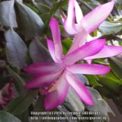 Location: JBsPlants at Roblyn Farm, New JerseyDate: 2014-04-16Old Fuchsia blooms from Nov. until April