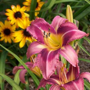 Photo courtesy of Karen Newman, Delano Daylilies. Used with Permi
