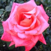 Location: Sacramento State Capitol World Peace Rose GardenDate: 2014-04-17