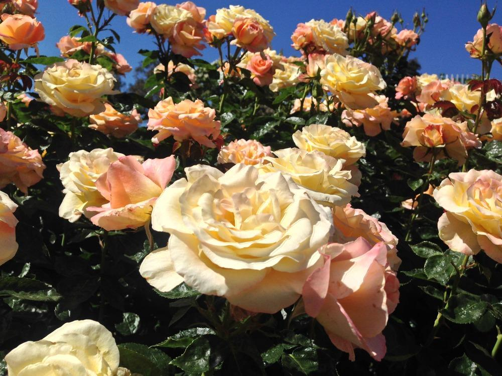 Photo of Rose (Rosa 'Day Breaker') uploaded by HamiltonSquare