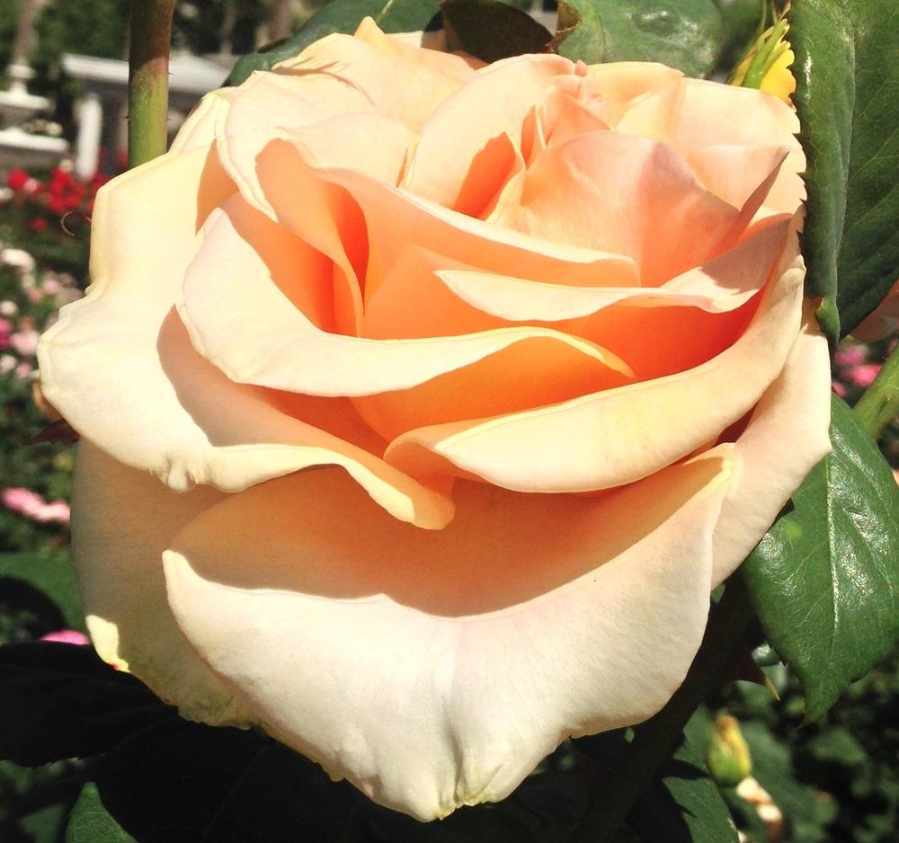 Photo of Rose (Rosa 'Marilyn Monroe') uploaded by HamiltonSquare