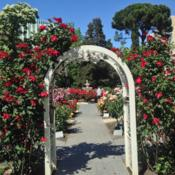 Location: Sacramento State Capitol World Peace Rose GardenDate: 2014-04-17'Altissimo' on the arbor.