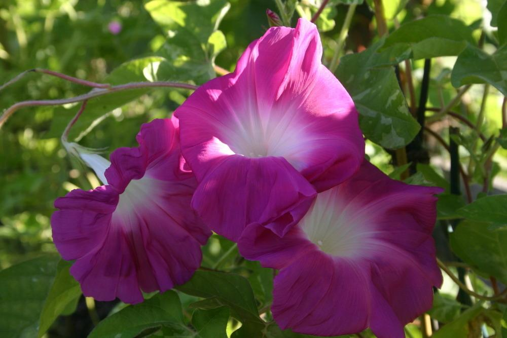 Photo of Japanese Morning Glory (Ipomoea nil 'Sekiho') uploaded by luvsgrtdanes