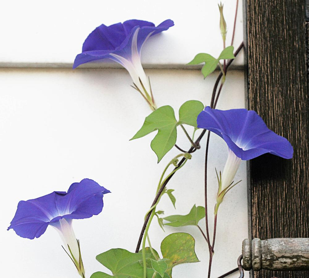 Photo of Morning Glory (Ipomoea 'Early Call Mixed') uploaded by luvsgrtdanes