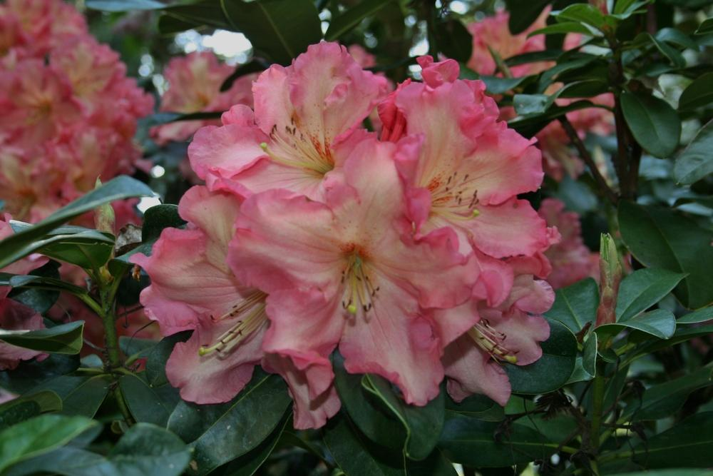 Rhododendrons Plant Care And Collection Of Varieties