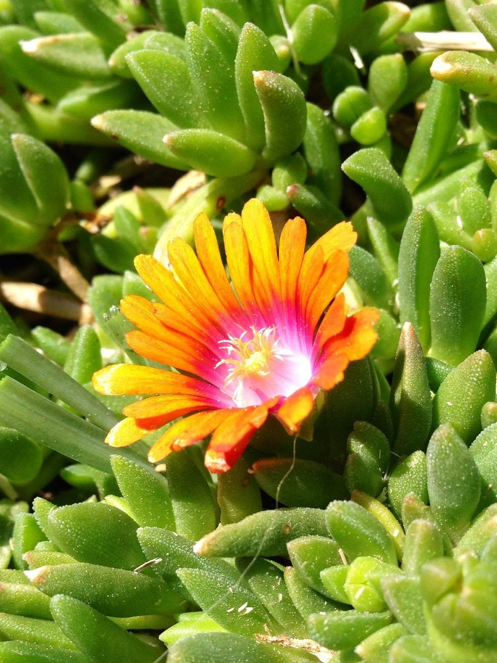 Photo of Ice Plant (Delosperma Fire Spinner™) uploaded by clintbrown