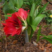 Location: Enterprise, Al. 36330Date: 2014-04-20This is the shortest Amaryllis I have, and the blooms t