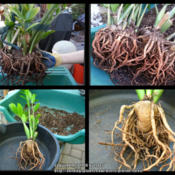 Location: At our garden - San Joaquin County, CADate: 18 Apr 2014Rootball and close-up of roots and rhizome of ZZ plant