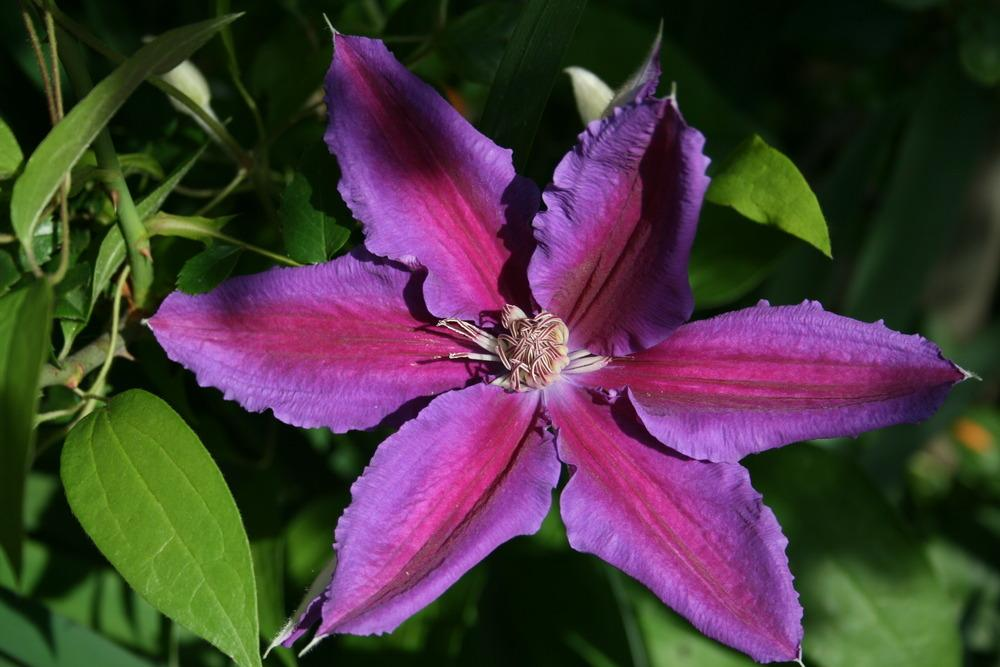 Photo of Clematis Anna-Louise™ uploaded by Calif_Sue