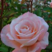 Photo courtesy of Tasman Bay Roses