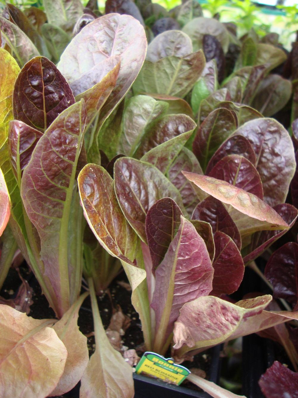 Lettuces: Plant Care and Collection of Varieties - Garden.org