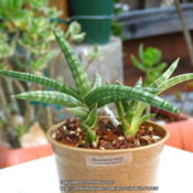 Location: At our garden - San Joaquin County, CADate: 2014-04-20A cute snake plant-tag says Sansevieria patula