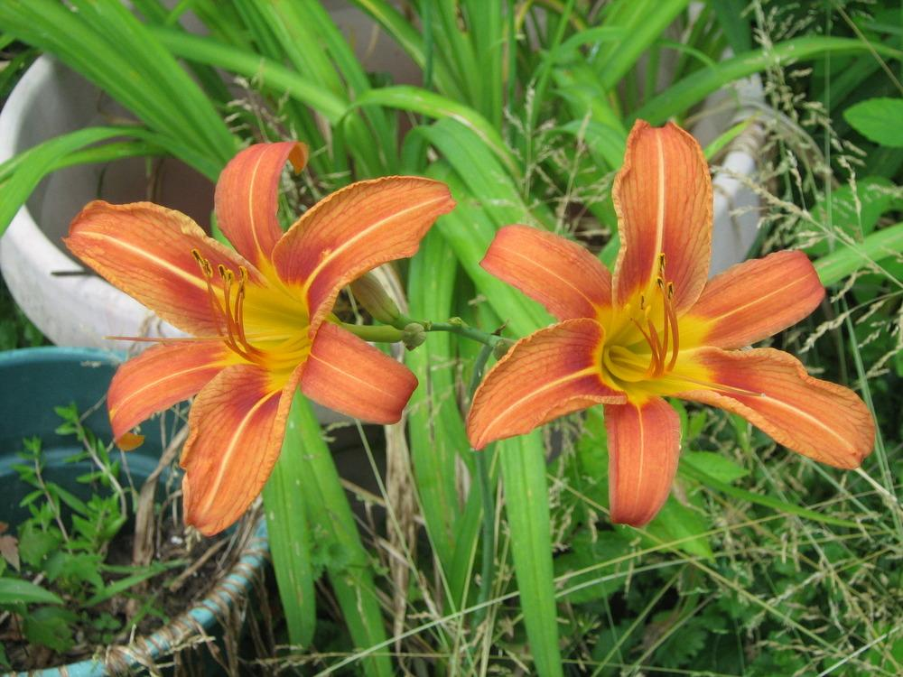 Photo of Ditch Lily (Hemerocallis fulva) uploaded by AnnaSartin