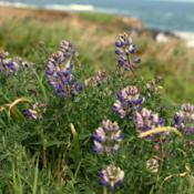 Location: Mendocino, CADate: 2012-04native lupine in Mendocino, Northern CA