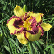 Photo courtesy of Karen Newman, Delano Daylilies. Used