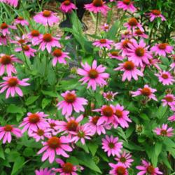 The Top 25 Coneflowers Garden Org
