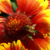 Location: Home in Yuba City, CADate: 2009Bee on Blanket Flower