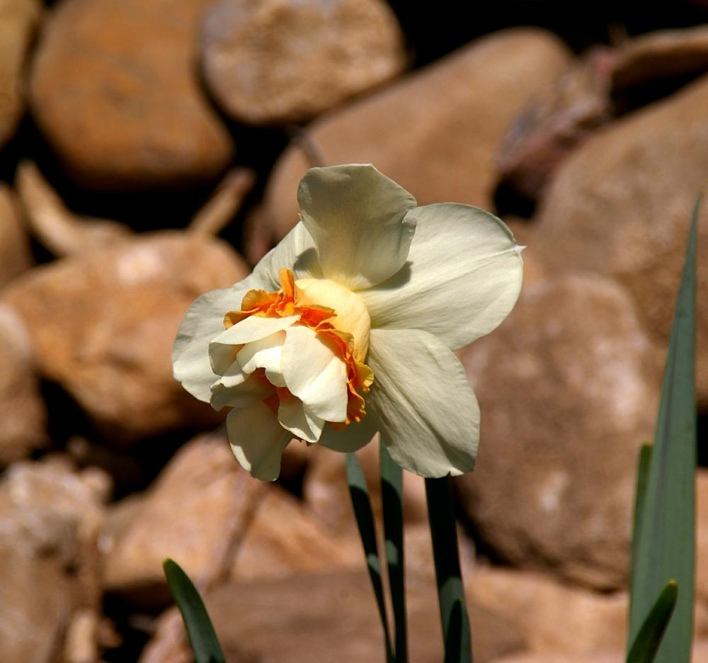 Photo of Double Daffodil (Narcissus 'Replete') uploaded by dirtdorphins