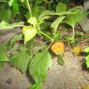 Location: Mount Heathy, OhioDate: 2011-07-18Chinese Lantern growing wild through a crack in the concrete.