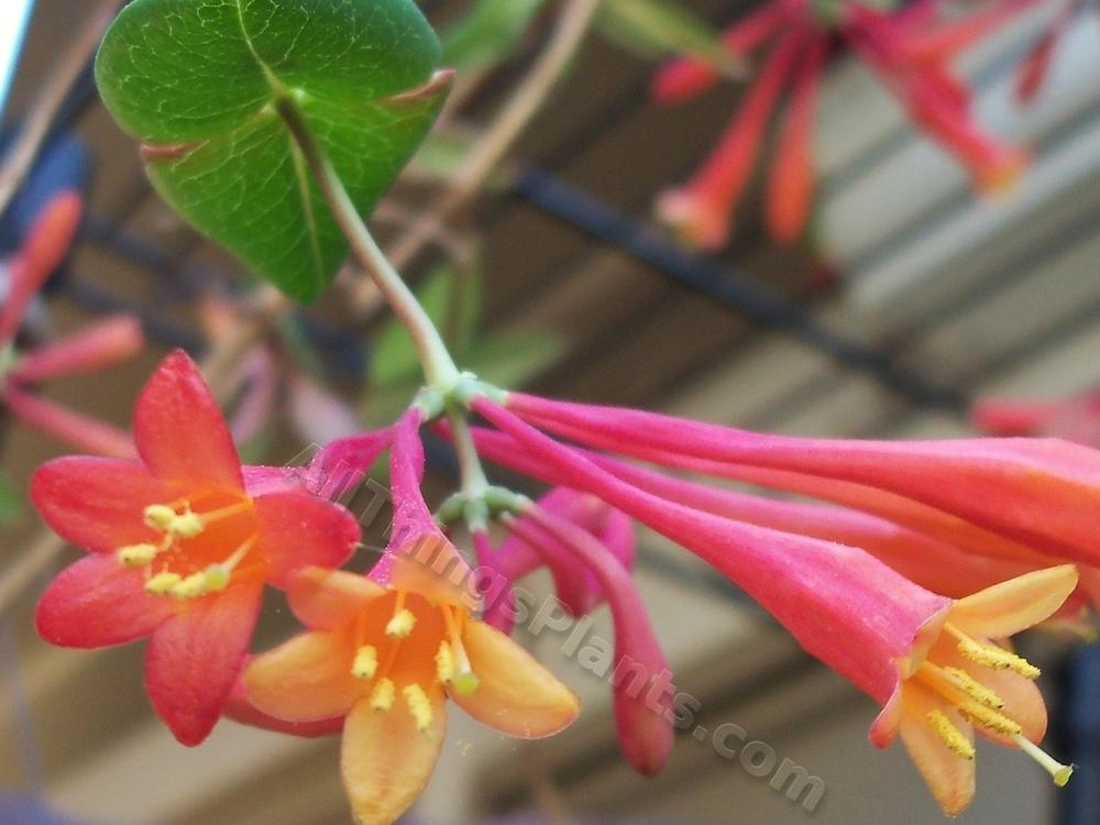 Photo of Coral Honeysuckle (Lonicera sempervirens 'Major Wheeler') uploaded by virginiarose