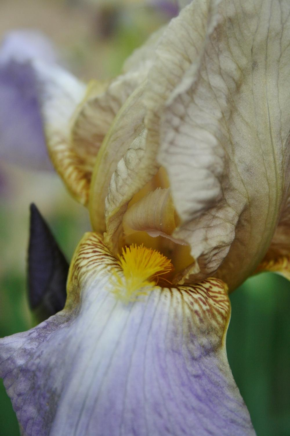 Photo of Tall Bearded Iris (Iris 'Quaker Lady') uploaded by Calif_Sue