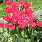 Location: My garden in KentuckyDate: 2014-04-19The color didn't come out the true red in the pic when
