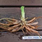 Location: northern california zone 9bDate: 2014-04-25Dil-Robin Nichols roots.