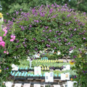Location: Annie's Annuals NurseryPhoto courtesy of Annie's Annuals and Perennials